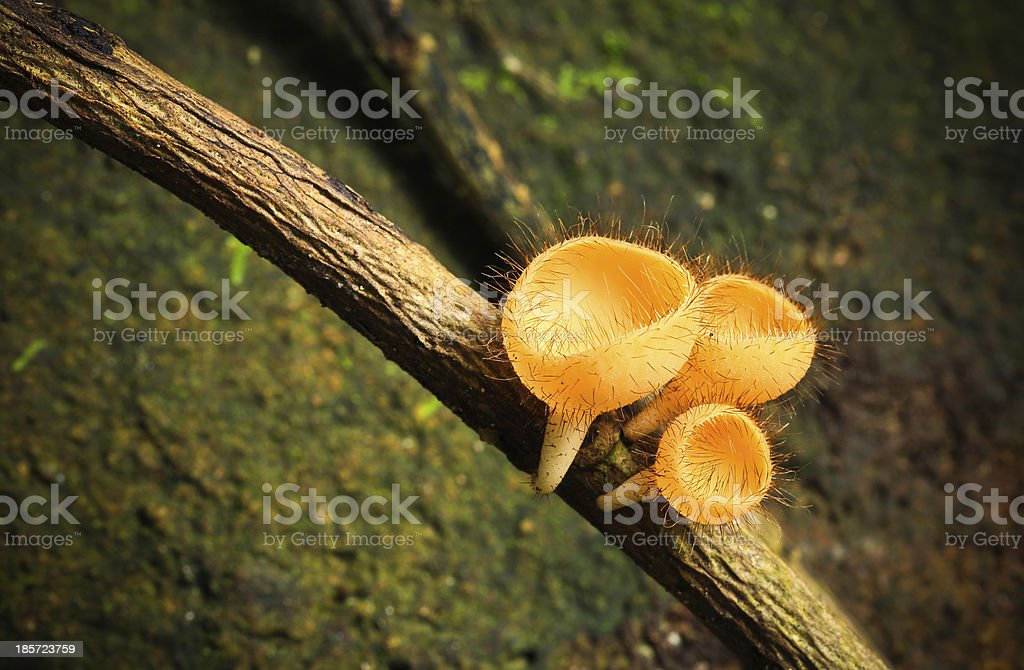 Goblet mushroom. royalty-free stock photo