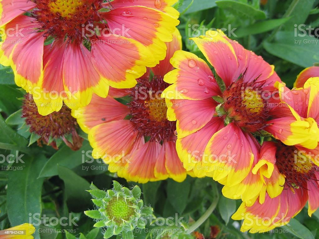 Goblin Blanket Flower stock photo