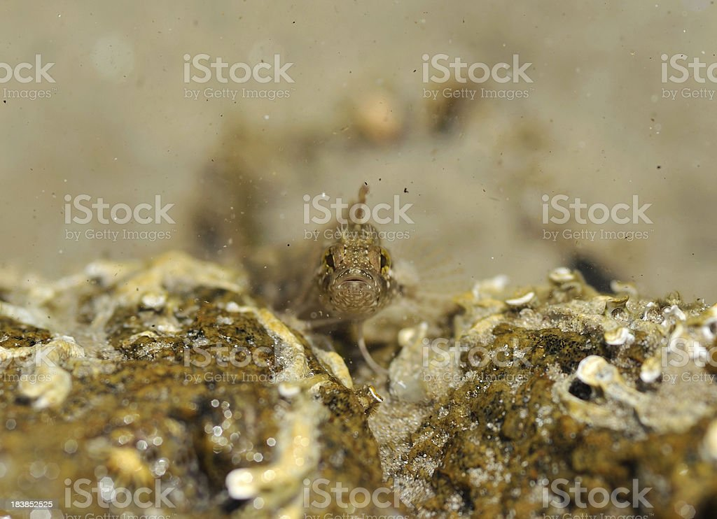Goby Fish royalty-free stock photo