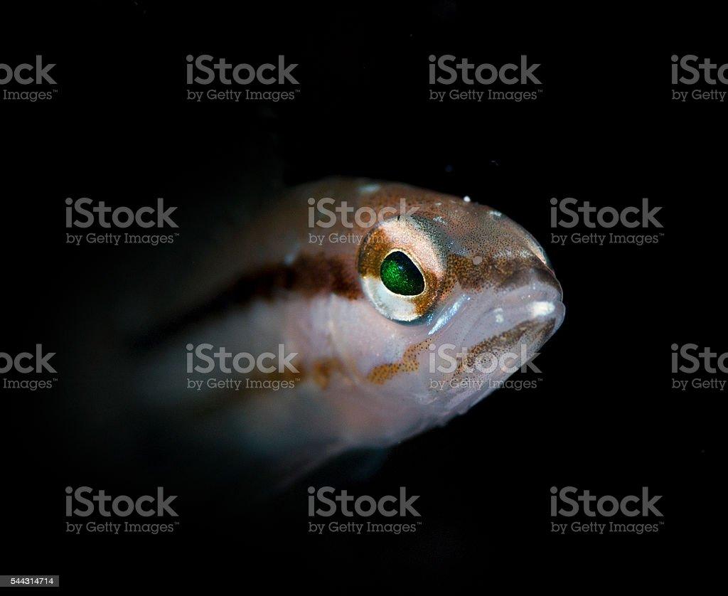 Goby fish stock photo