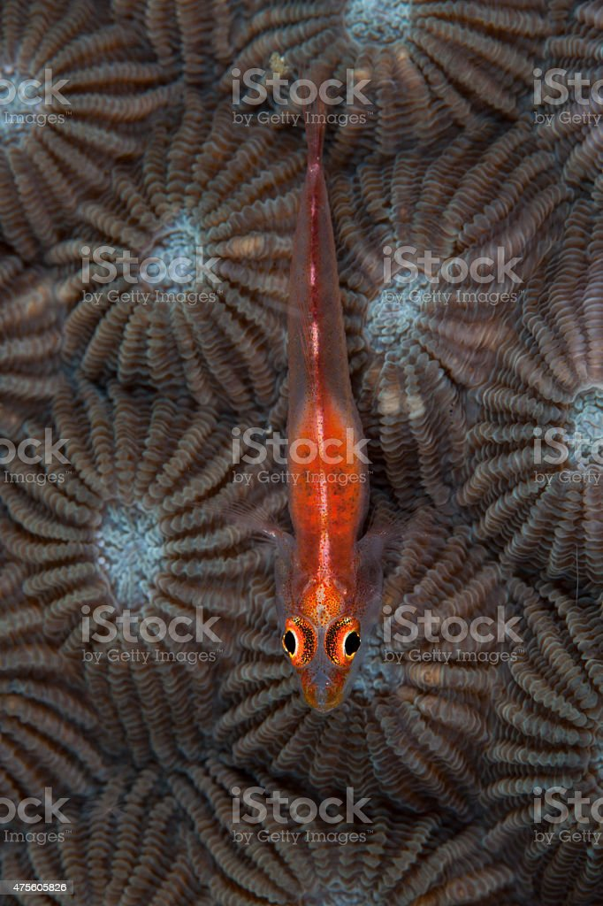 Goby on Coral stock photo