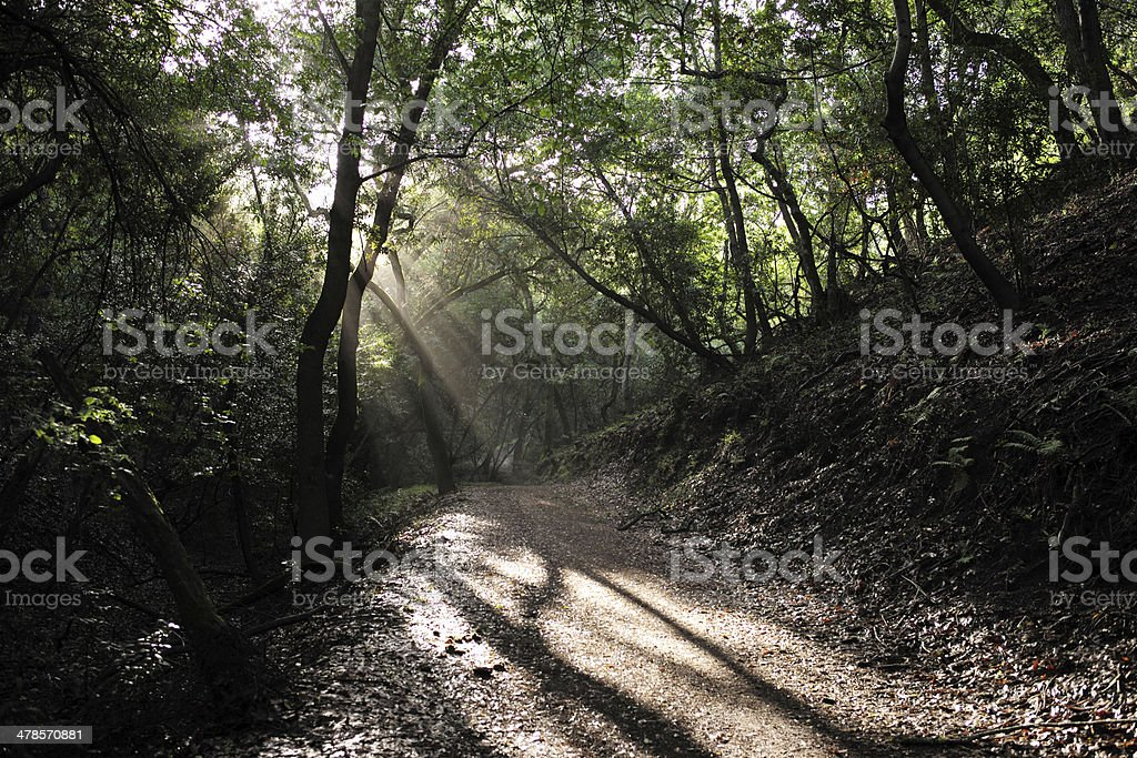 God Rays in the forest stock photo