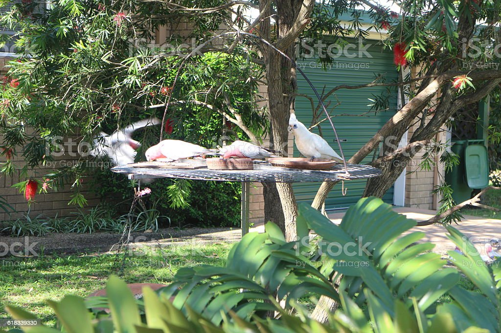 Goffins cockatoo and galahs at feeding tray stock photo