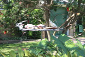 Goffins cockatoo and galahs at feeding tray