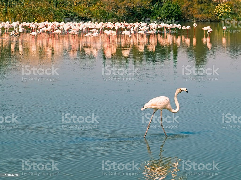 Going it alone: young flamingo strides away from flock stock photo
