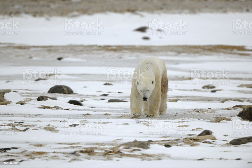 Going polar bear. stock photo