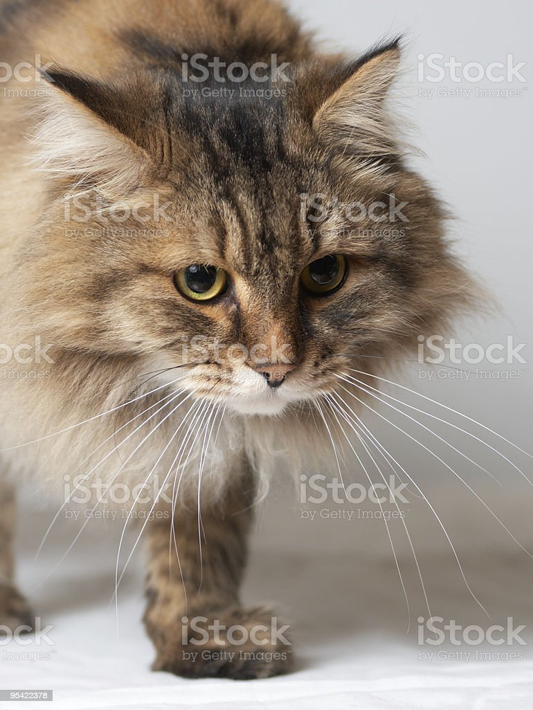 Going Siberian cat. royalty-free stock photo