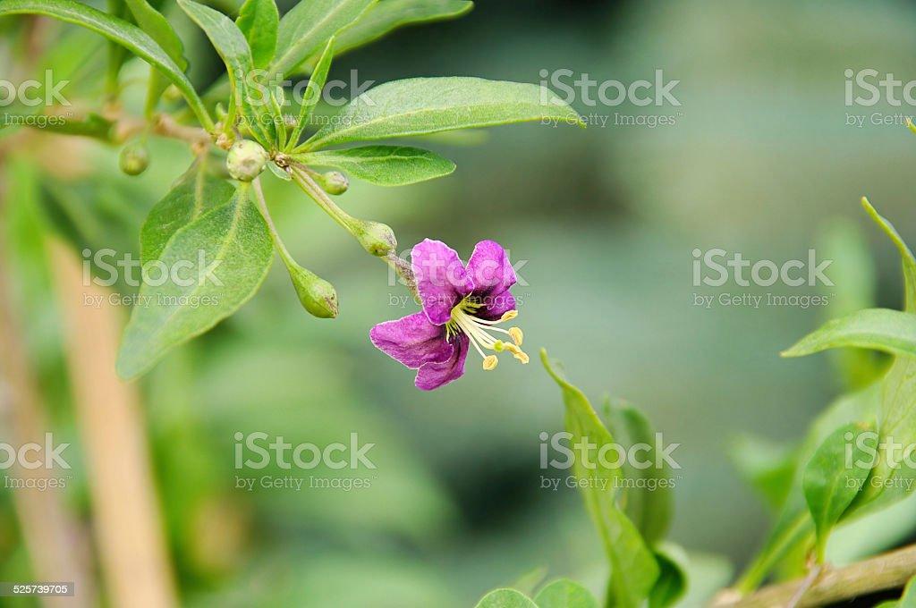 goji berry flower stock photo