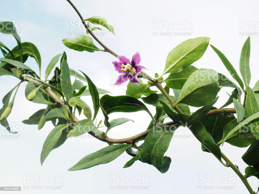 Goji flower stock photo