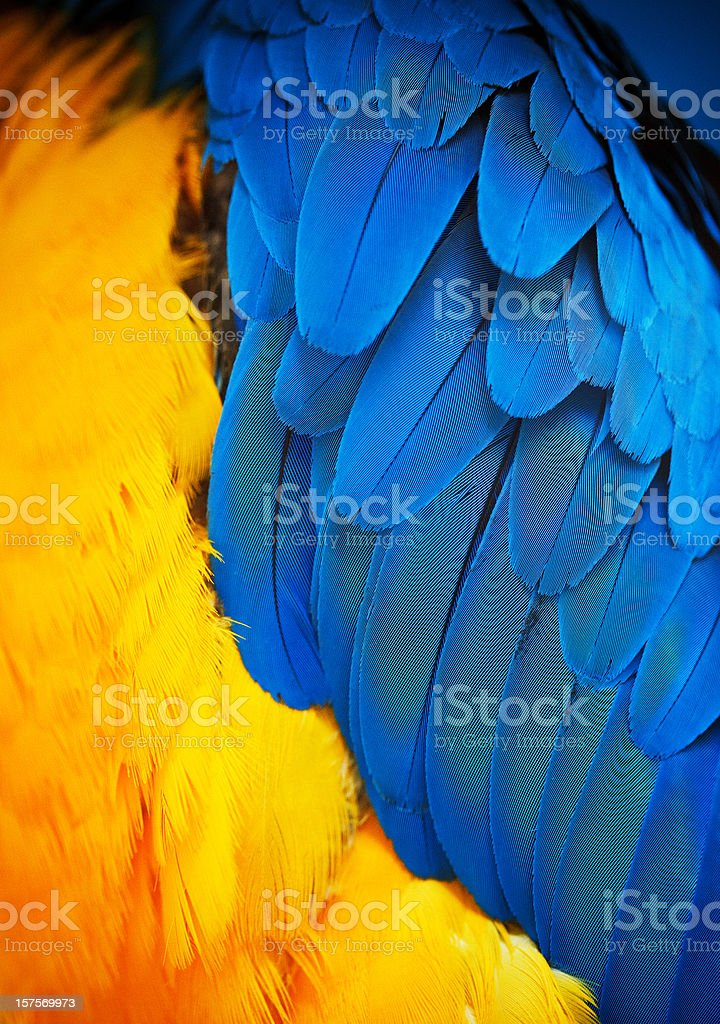 gold and blue macaw feathers stock photo