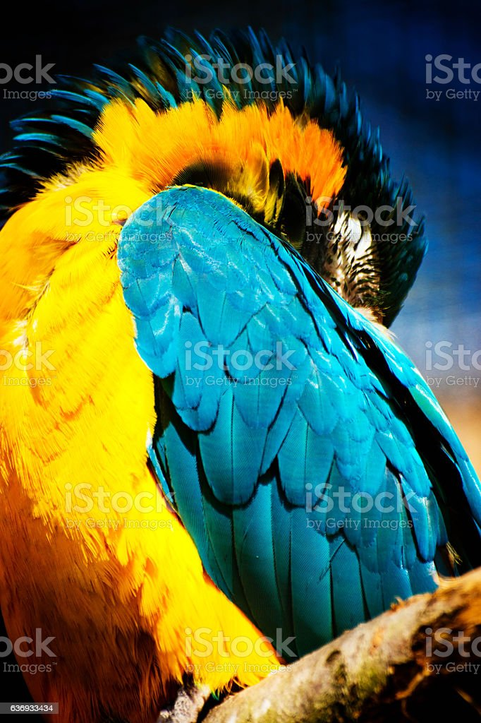 Gold and blue macaw stock photo