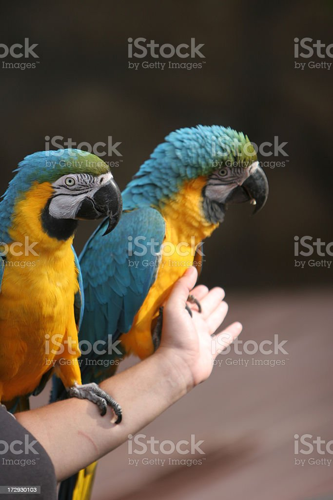 Gold and blue macaws stock photo