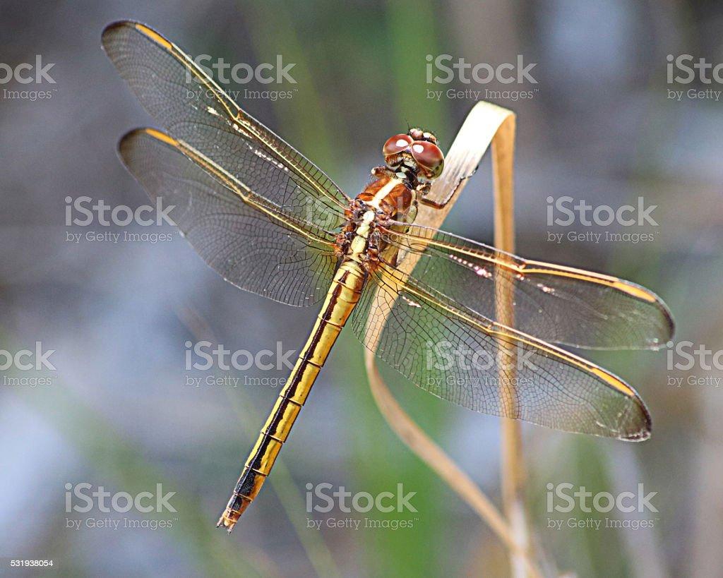 Or et de brun libellule photo libre de droits