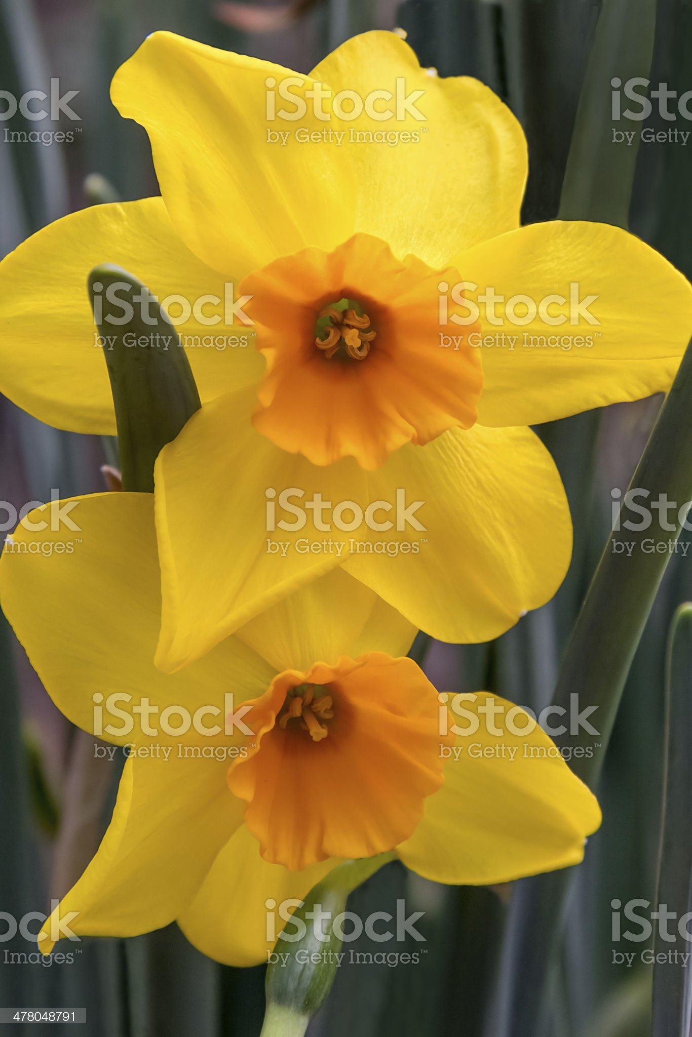 Gold and Orange Daffodils royalty-free stock photo