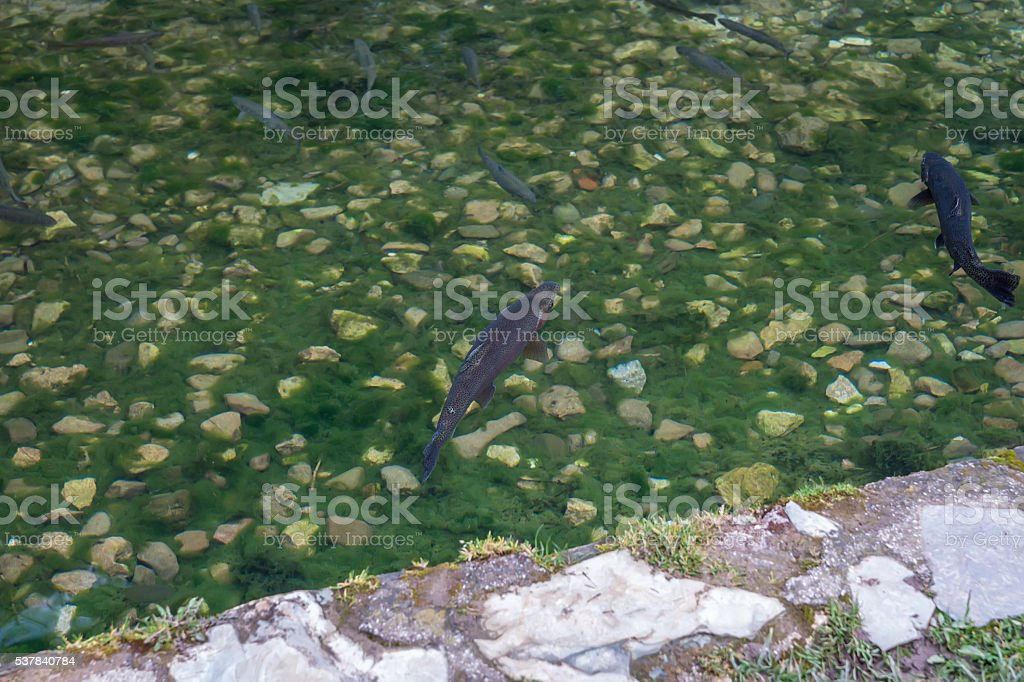 Gold and ordinary trout in a mountain stream 04 stock photo