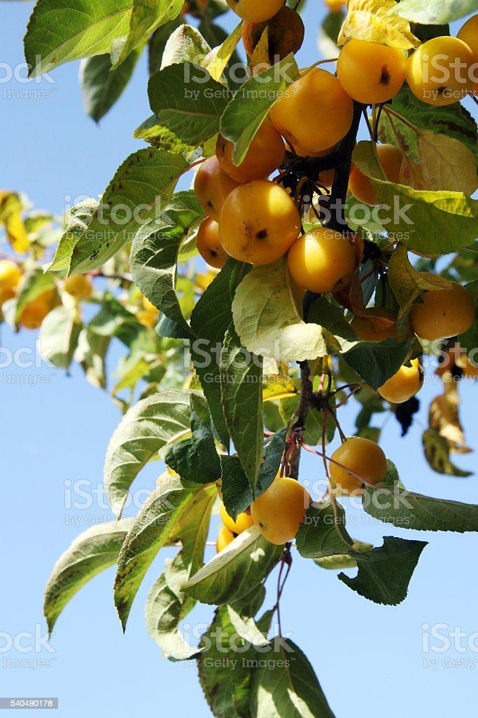 Gold apples stock photo
