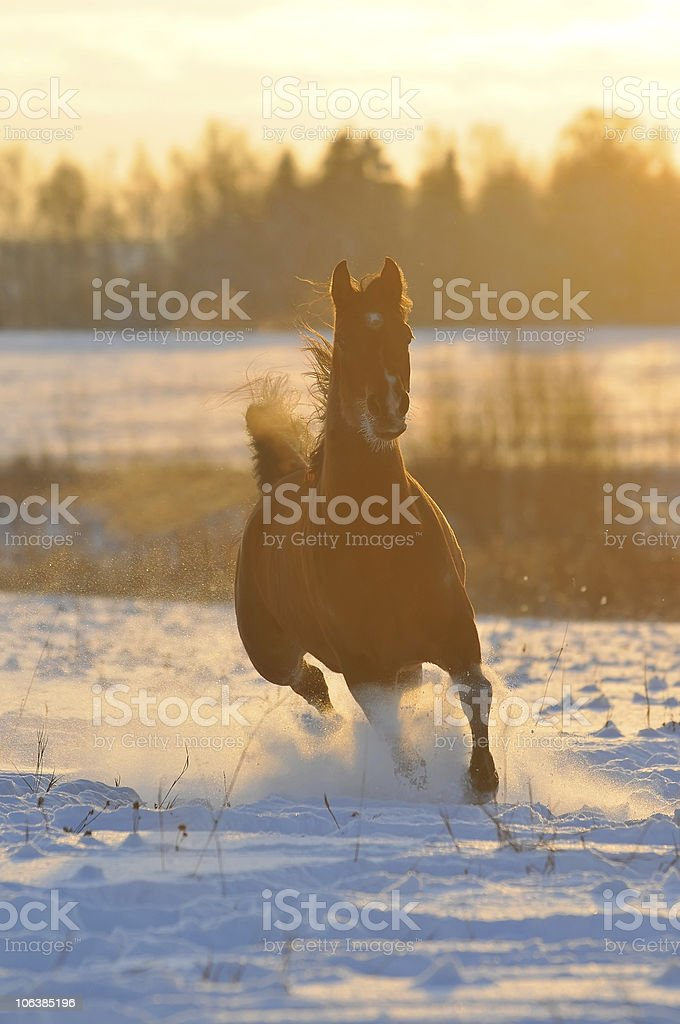 gold bay horse in winter royalty-free stock photo