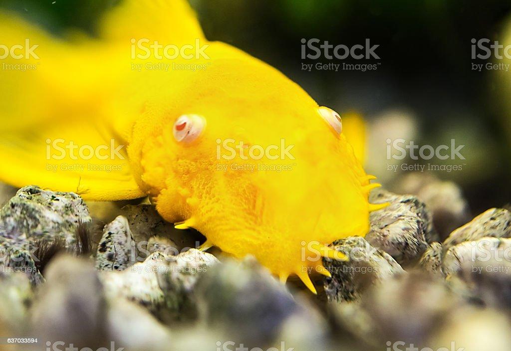Gold catfish stock photo