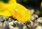 Gold catfish