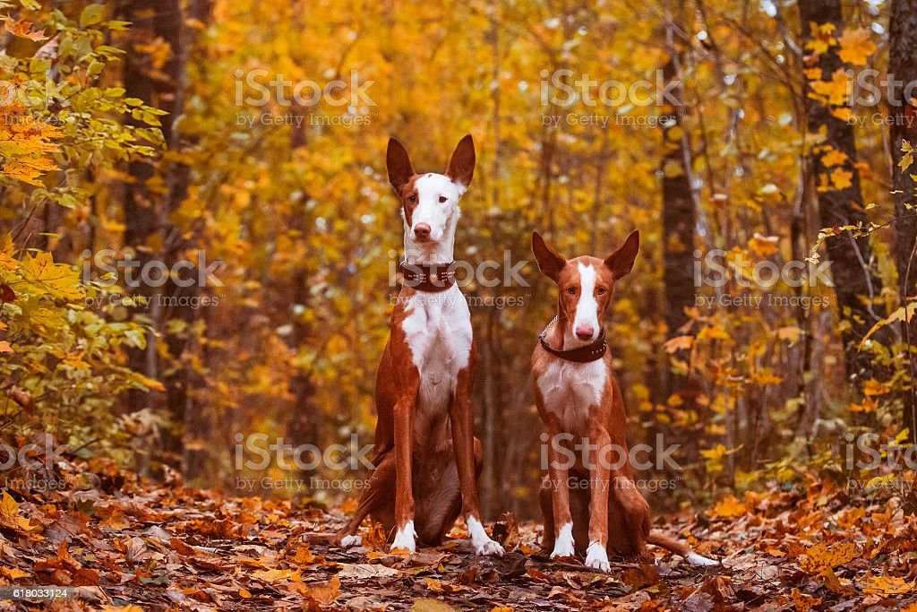 Gold colored dogs stock photo