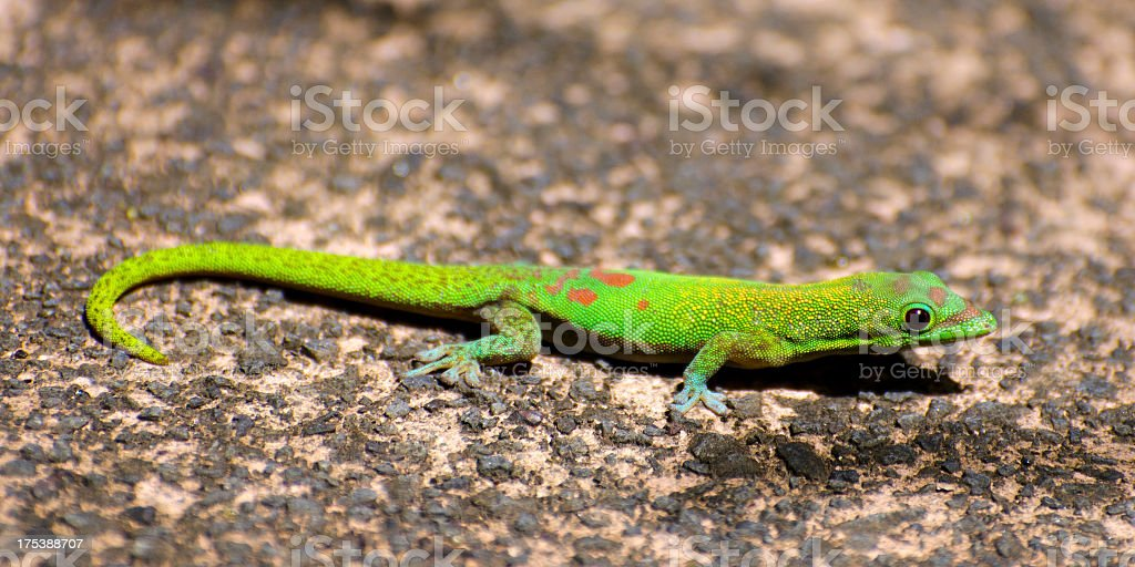 gold dust day gecko  Phelsuma laticauda stock photo