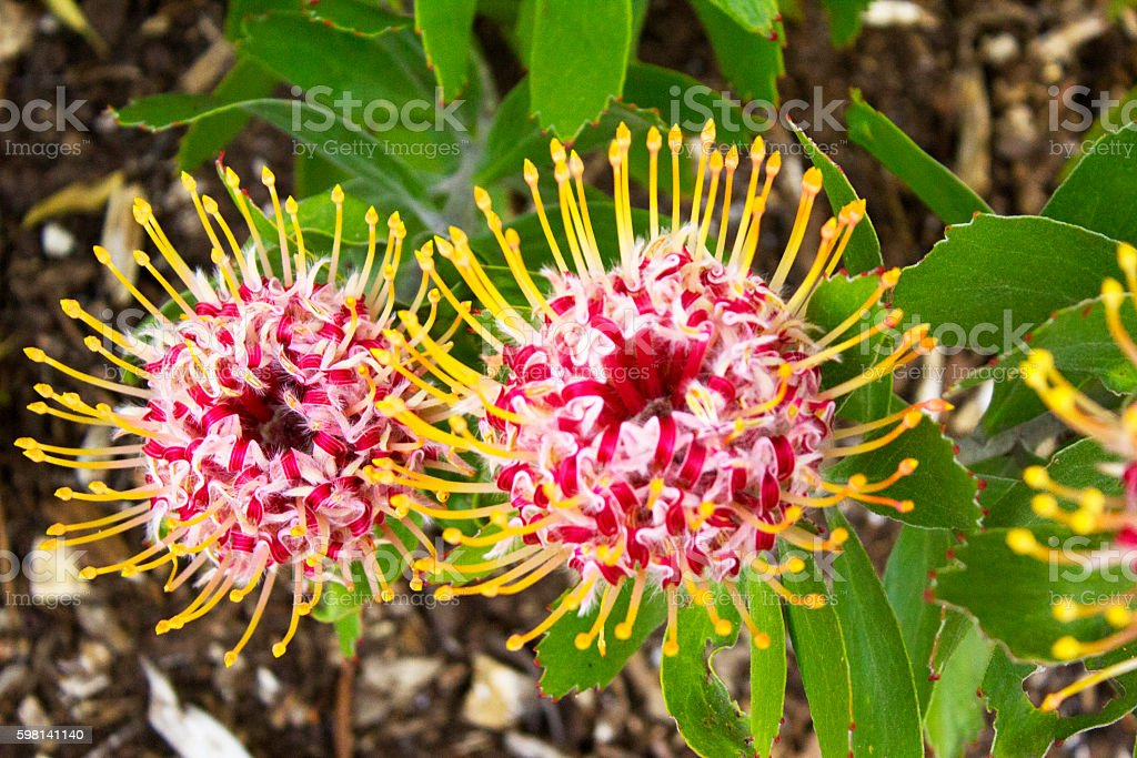 Gold Fever Protea pincushion flower stock photo