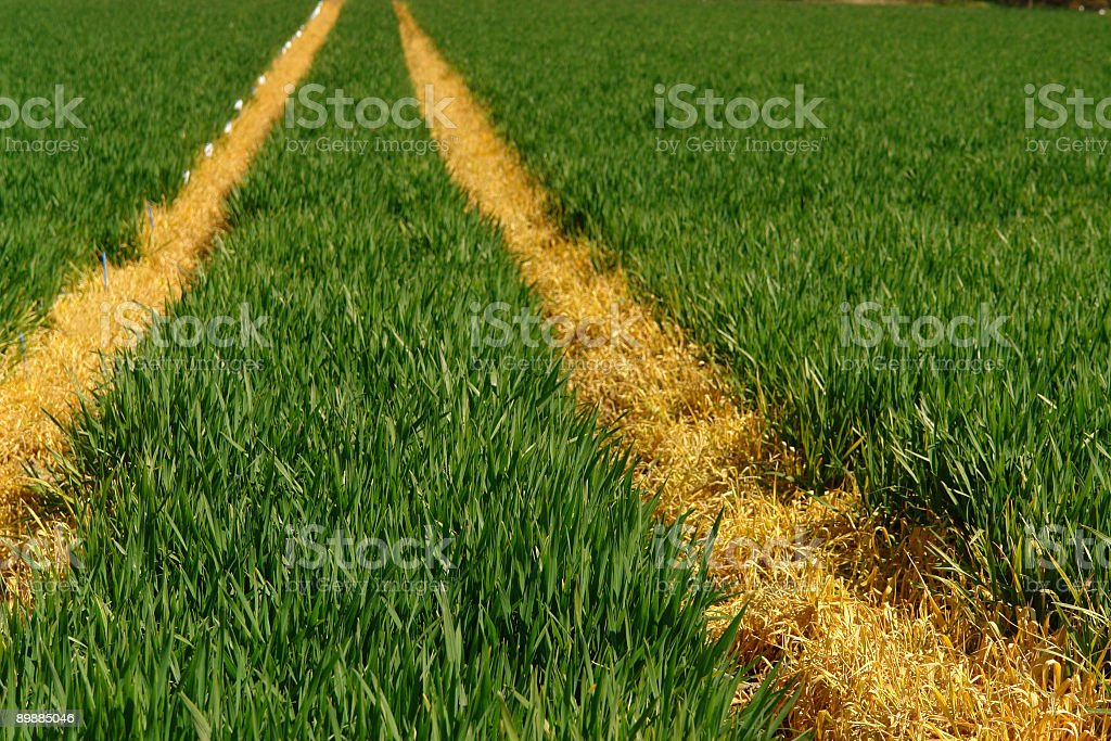 gold fields stock photo