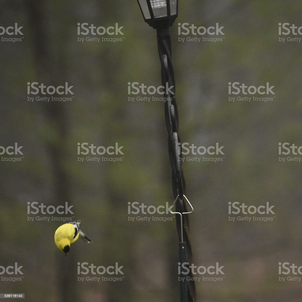 Gold finch free falls from bird feeder stock photo