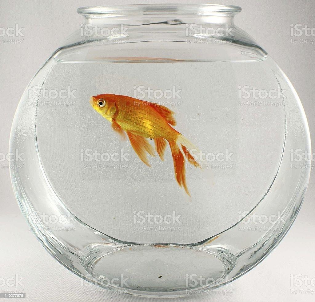 gold fish 2 royalty-free stock photo