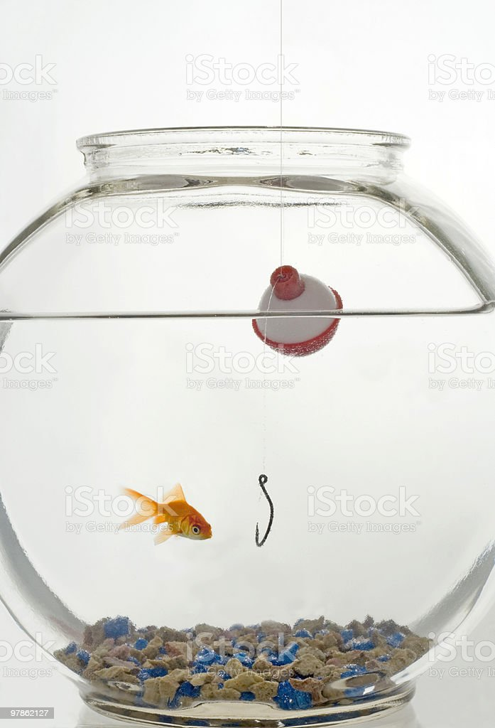 Gold fish hunting royalty-free stock photo