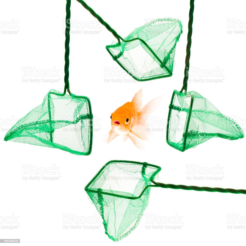 Gold fish in danger surrounded by four fish nets stock photo