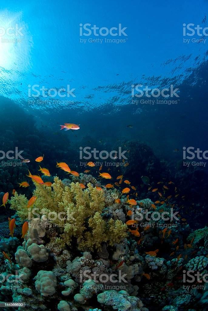 Gold fish on coral royalty-free stock photo