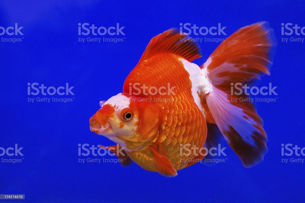 Gold fish royalty-free stock photo