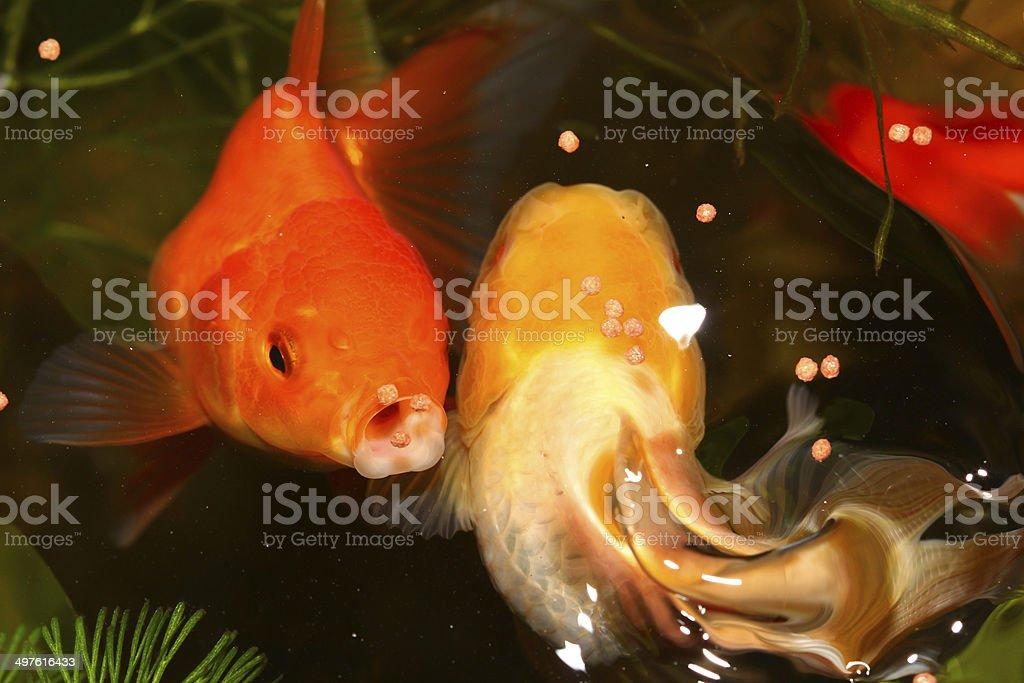 Gold fish. royalty-free stock photo