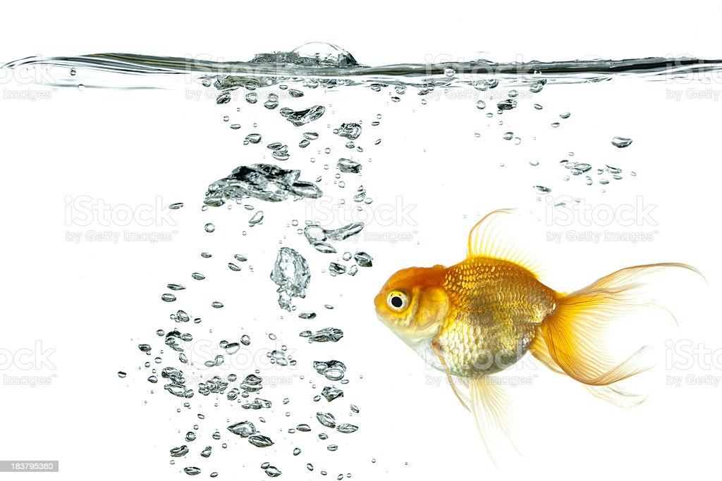 Gold Fish with Bubbles stock photo