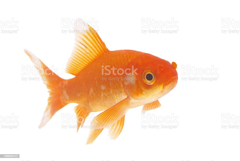 gold fish with cliping path 2 royalty-free stock photo