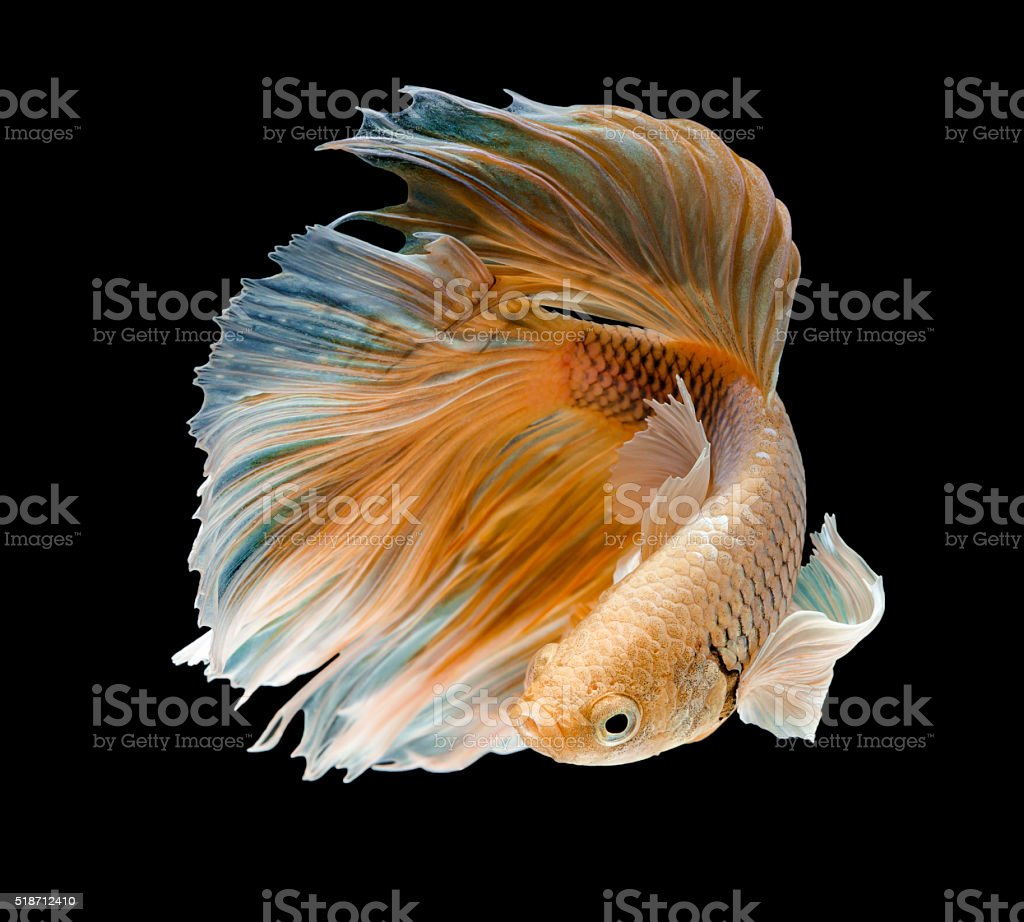 gold fish,Betta fish stock photo