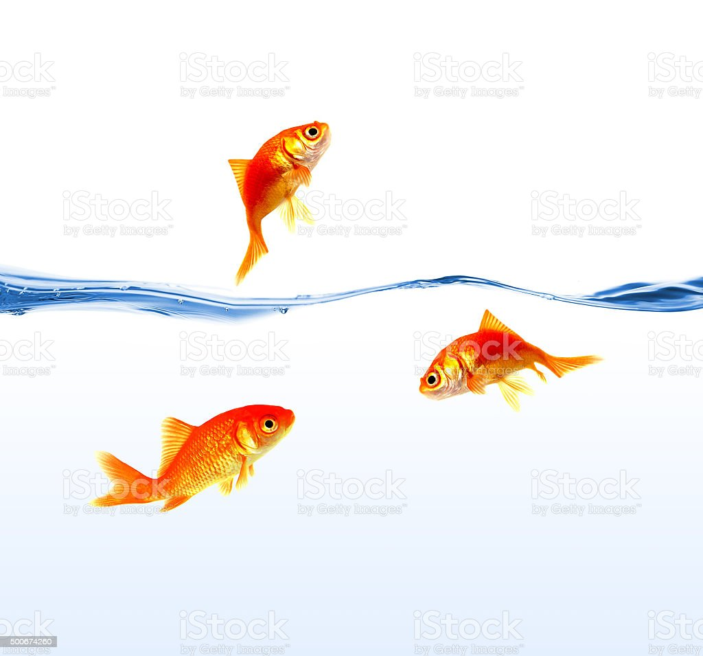 gold fishes on water isolated stock photo