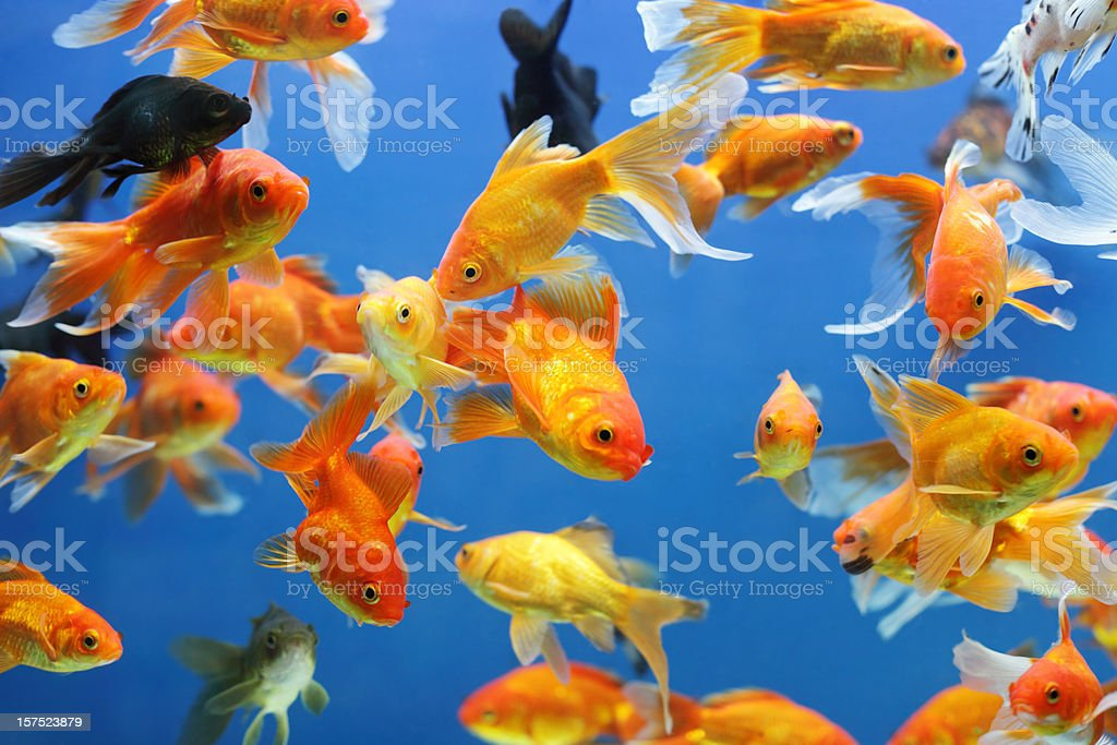 Gold Fishes stock photo