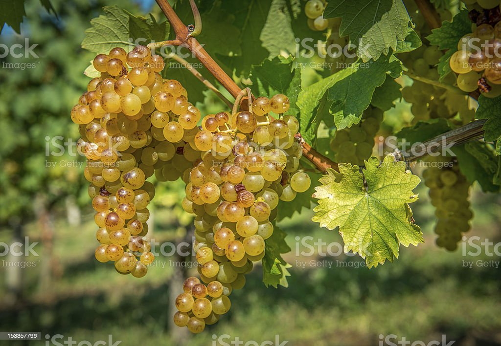 Gold Grapes on the Vine royalty-free stock photo