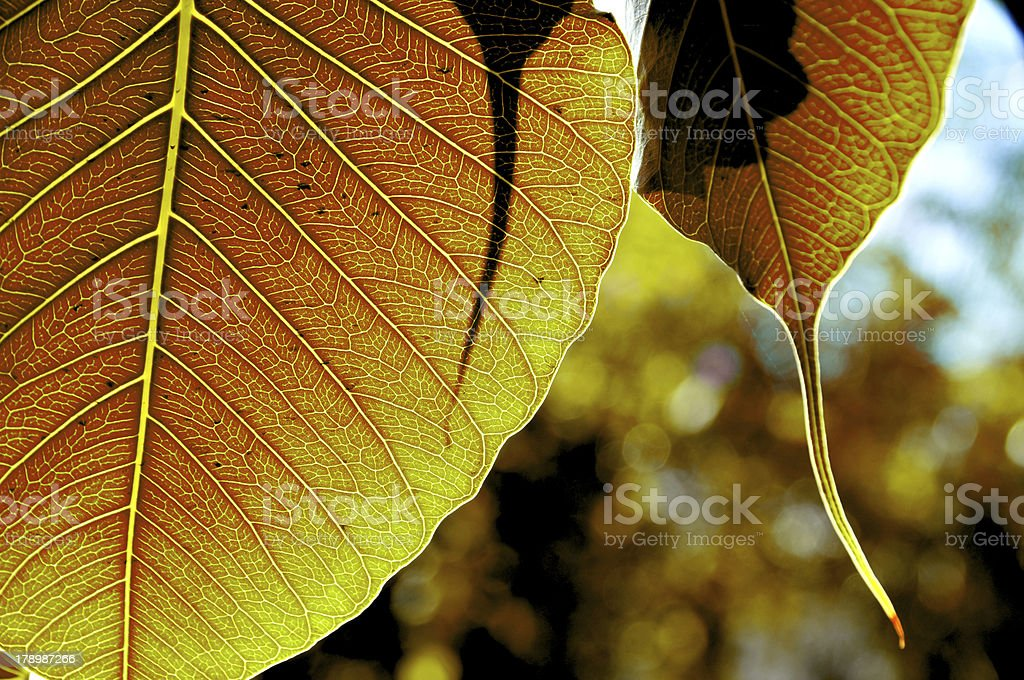 gold leaf of bodhi tree royalty-free stock photo