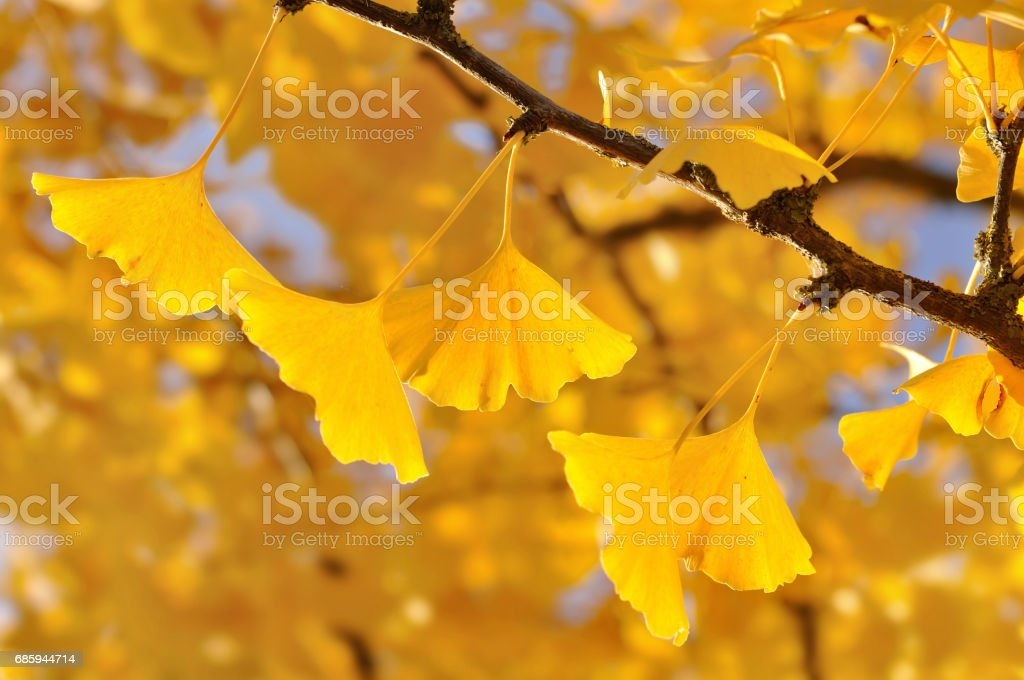 gold leaf  of ginkgo stock photo