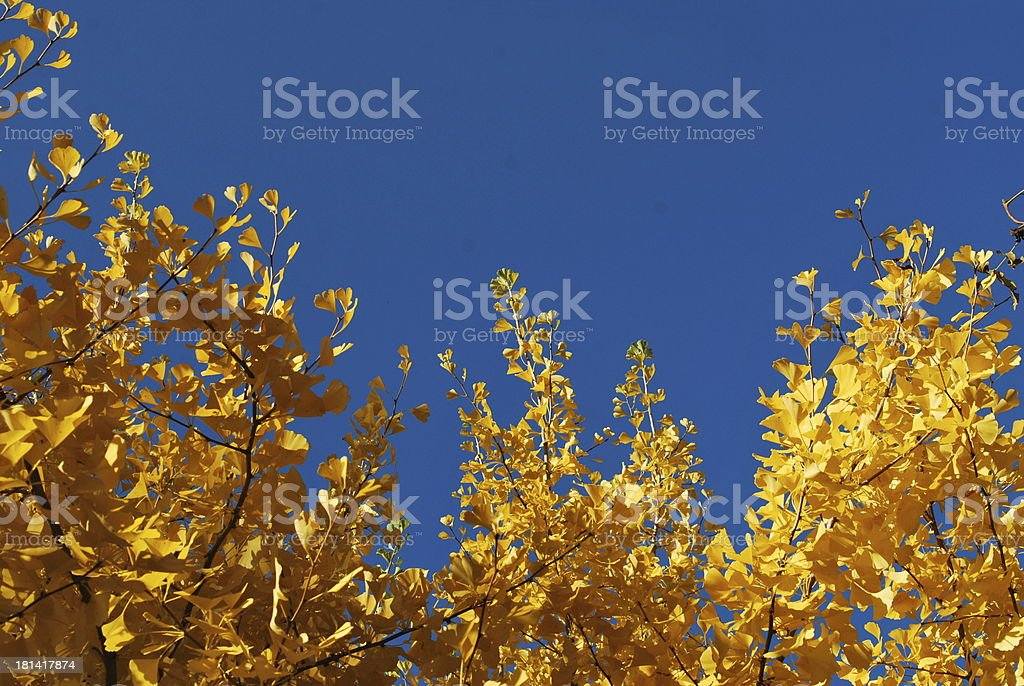 Gold leaves in sunshine royalty-free stock photo