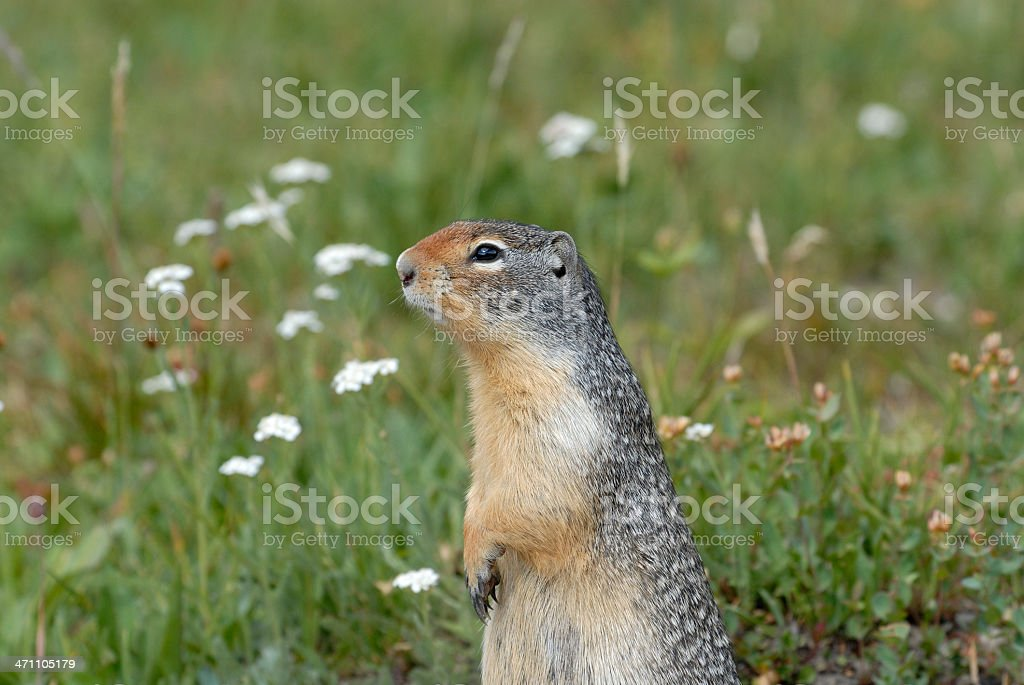 Gold Mantled Ground Squirrel stock photo