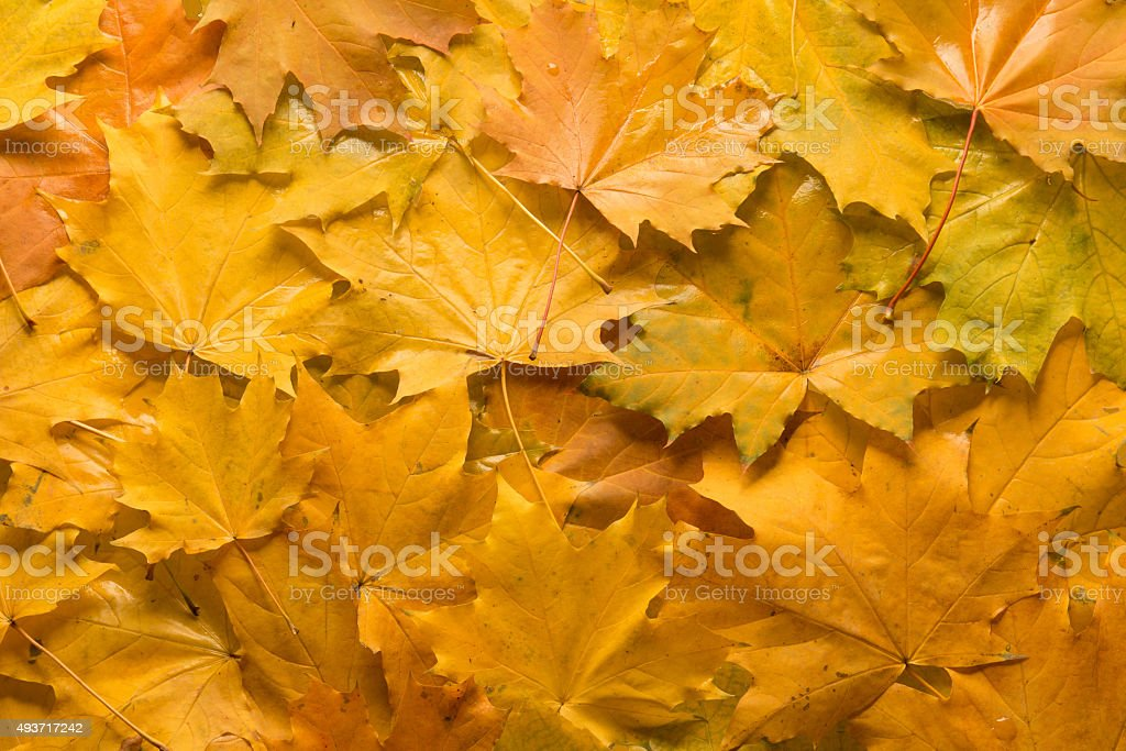 Gold maple leavesGold maple leaves stock photo
