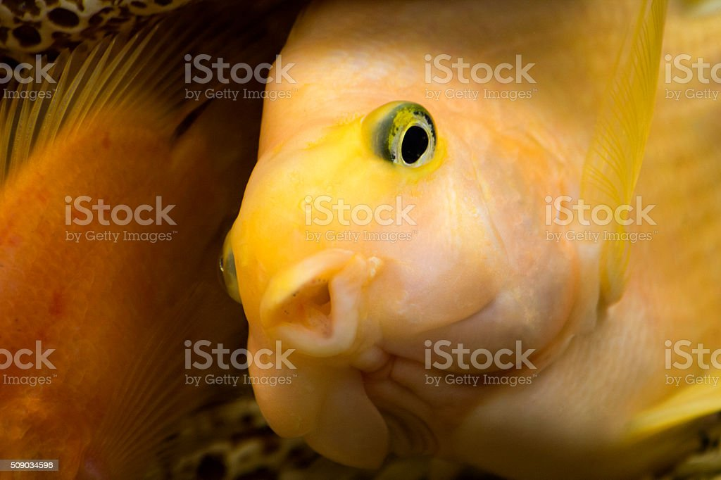Gold Parrot Fish. Aquarium fish stock photo