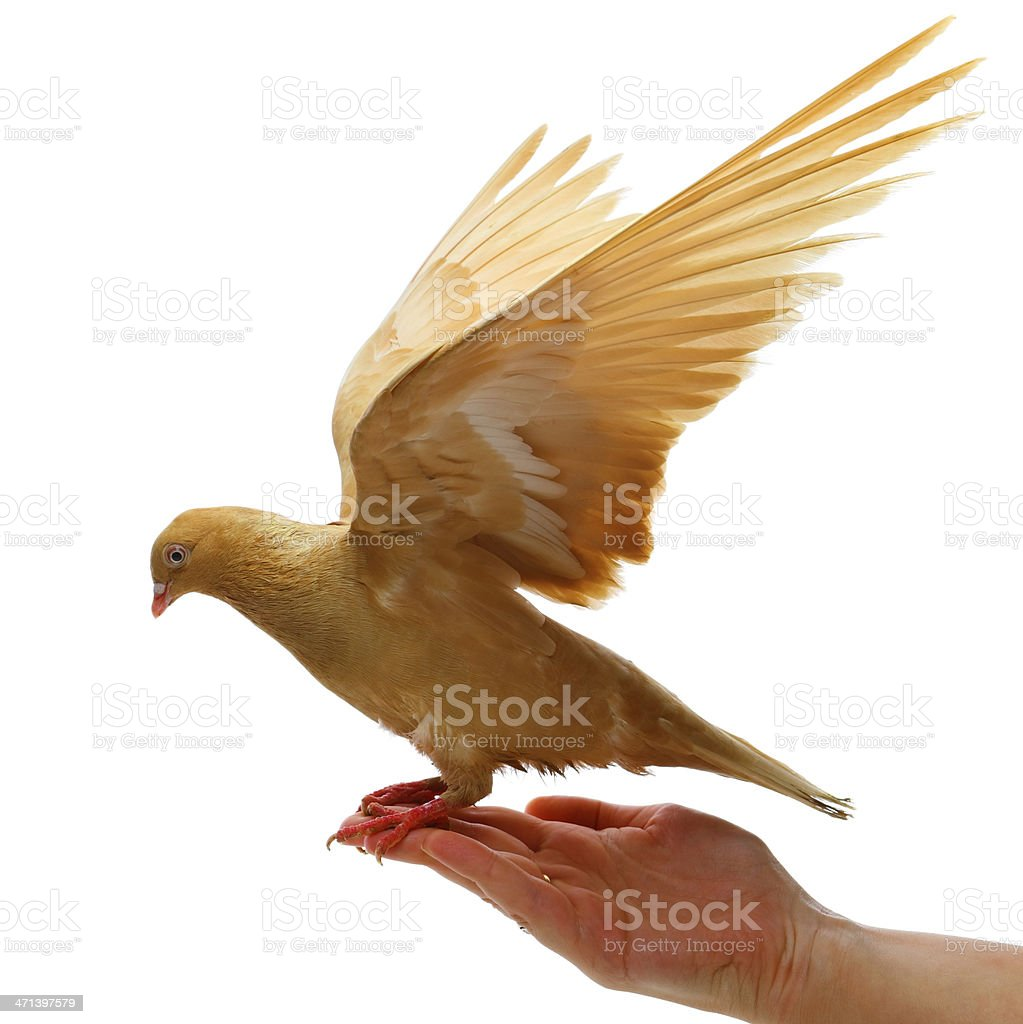 gold pigeon in hand stock photo