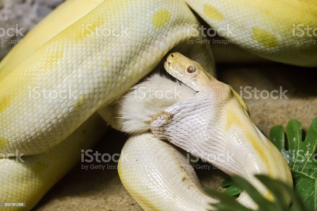 Gold Python stock photo