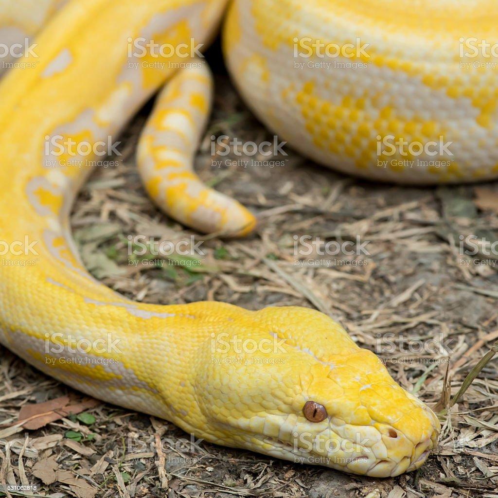 Gold Python,Reticulated python (Python reticulatus) stock photo