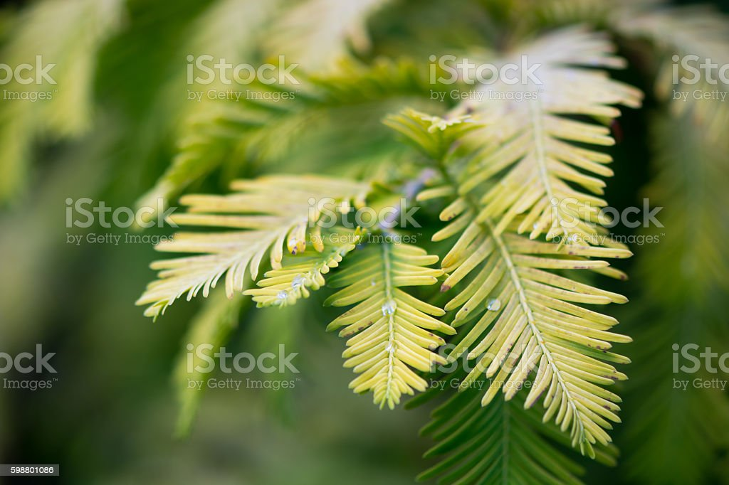 Gold rush tree (Metasequoia glyptostroboides) foliage stock photo